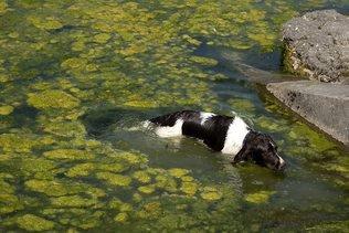 Présence d'«algues bleues» de nouveau constatée