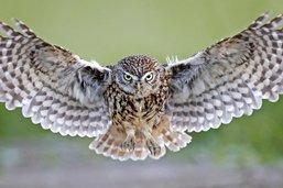 L'oiseau d'Athéna veille sur le Seeland