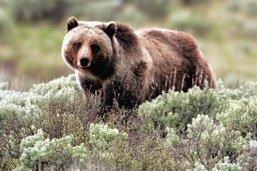 En prison pour s'être approchée d'une ourse et de ses petits